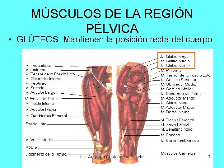 MÚSCULOS DE LA REGIÓN PÉLVICA • GLÚTEOS: Mantienen la posición recta del cuerpo Lic.