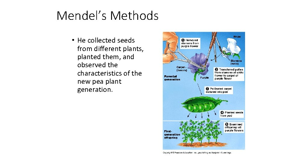 Mendel's Methods • He collected seeds from different plants, planted them, and observed the