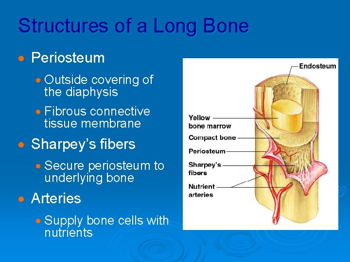 Structures of a Long Bone · Periosteum · Outside covering of the diaphysis ·