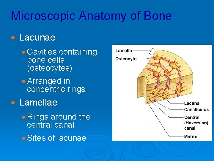 Microscopic Anatomy of Bone · Lacunae · Cavities containing bone cells (osteocytes) · Arranged