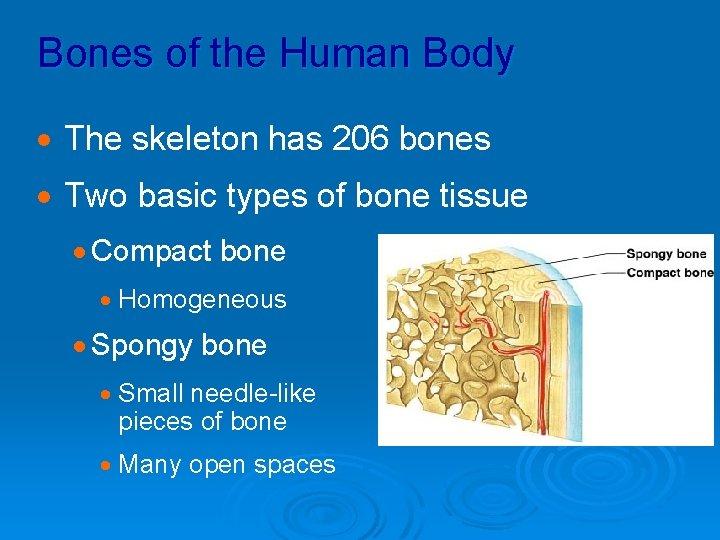 Bones of the Human Body · The skeleton has 206 bones · Two basic