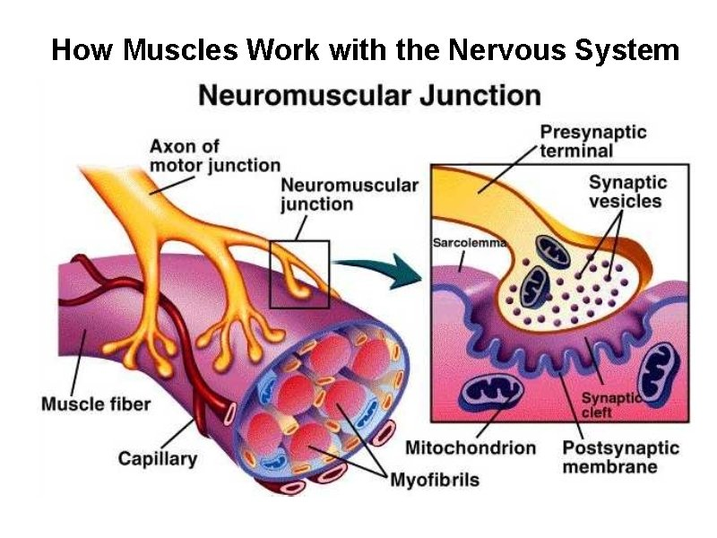 How Muscles Work with the Nervous System