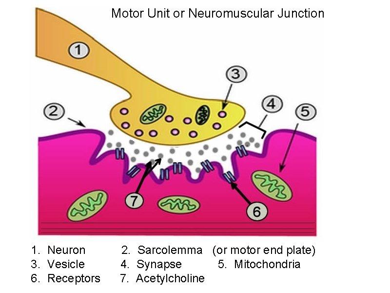 Motor Unit or Neuromuscular Junction 1. Neuron 2. Sarcolemma (or motor end plate) 3.