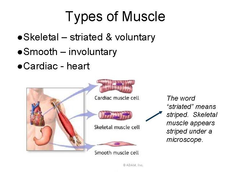Types of Muscle ●Skeletal – striated & voluntary ●Smooth – involuntary ●Cardiac - heart