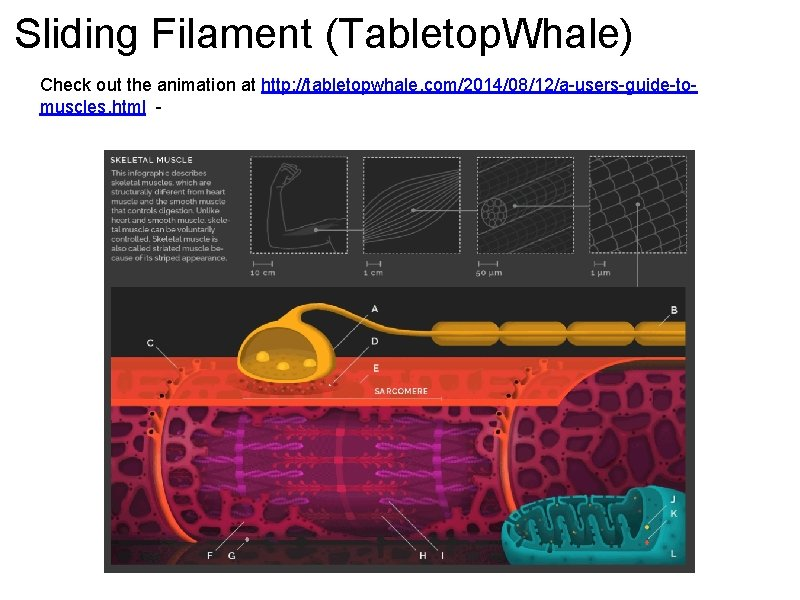 Sliding Filament (Tabletop. Whale) Check out the animation at http: //tabletopwhale. com/2014/08/12/a-users-guide-tomuscles. html -