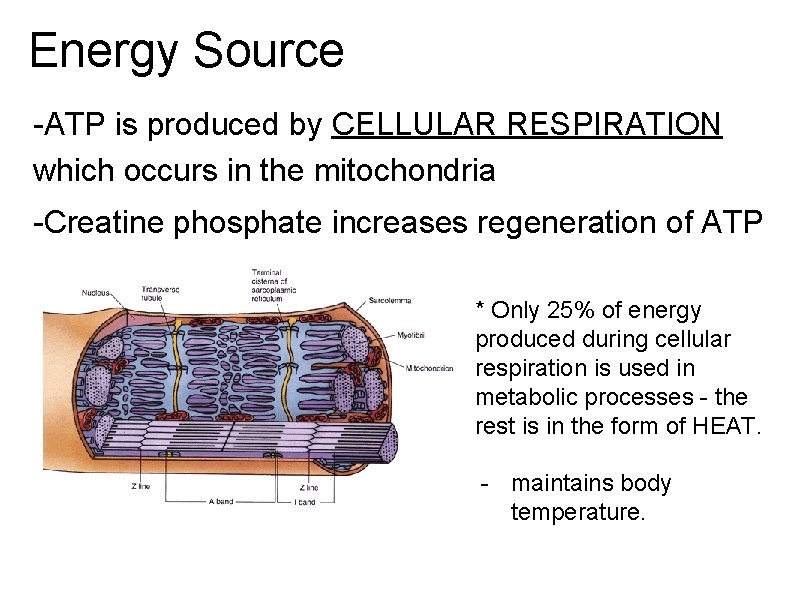 Energy Source -ATP is produced by CELLULAR RESPIRATION which occurs in the mitochondria -Creatine