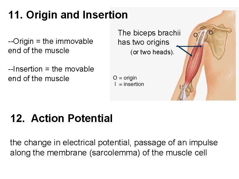 11. Origin and Insertion --Origin = the immovable end of the muscle The biceps