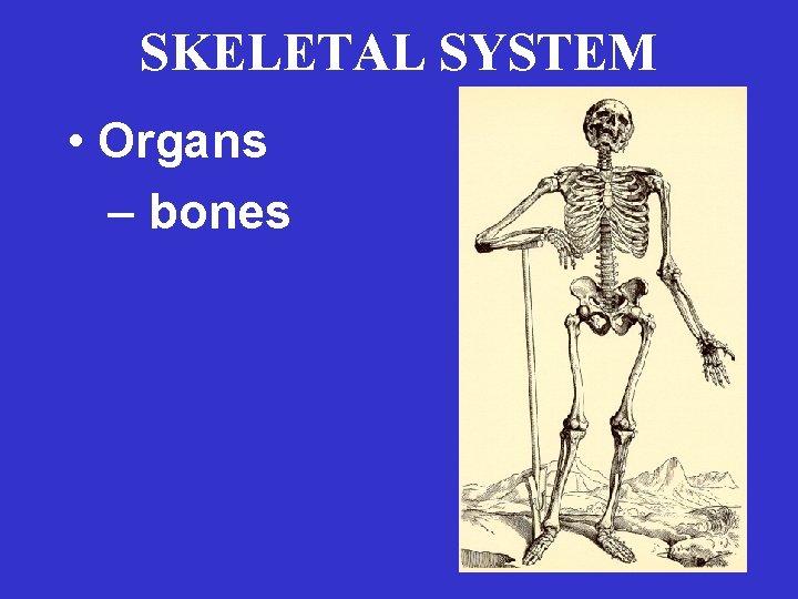SKELETAL SYSTEM • Organs – bones