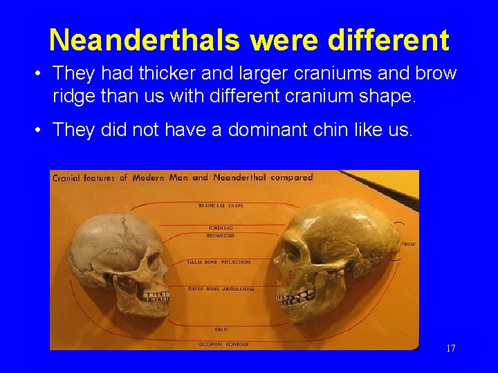 Neanderthals were different • They had thicker and larger craniums and brow ridge than