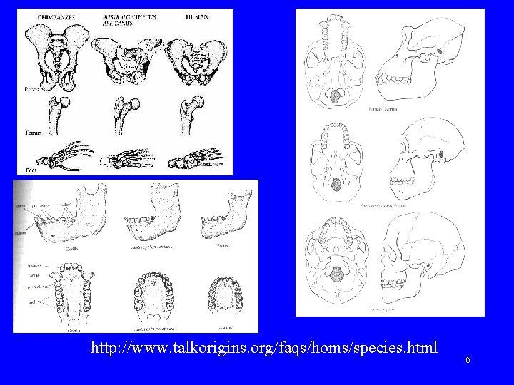 http: //www. talkorigins. org/faqs/homs/species. html 6