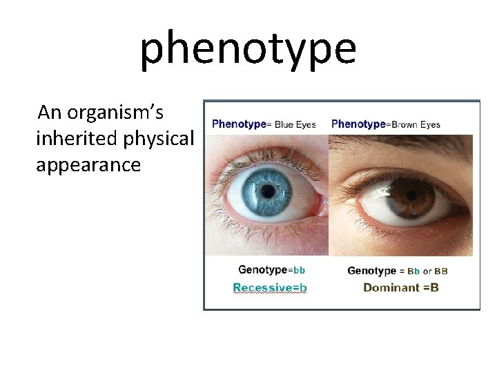 phenotype An organism's inherited physical appearance