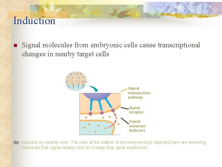 Induction n Signal molecules from embryonic cells cause transcriptional changes in nearby target cells