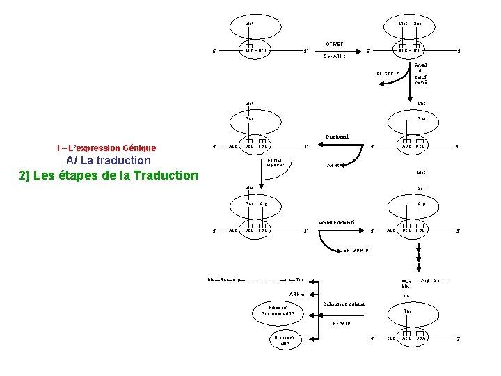 Met Ser AUG UCU GTP/EF AUG 5' UCU 3' Ser-ARNt 5' 3' Peptid iltransf