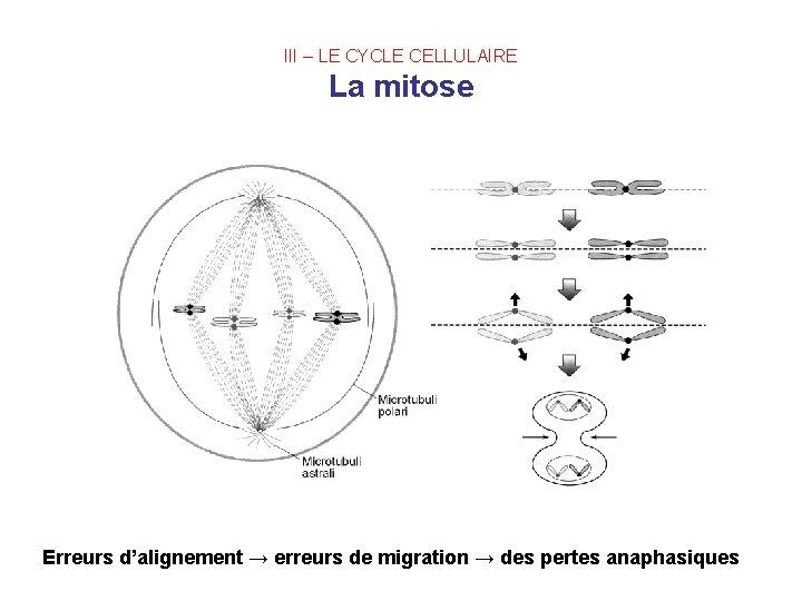 III – LE CYCLE CELLULAIRE La mitose Erreurs d'alignement → erreurs de migration →