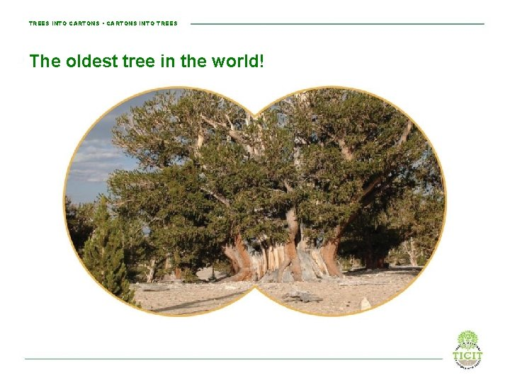 TREES INTO CARTONS • CARTONS INTO TREES The oldest tree in the world!