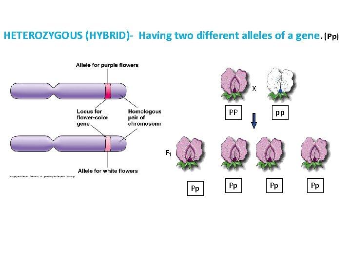 HETEROZYGOUS (HYBRID)- Having two different alleles of a gene. (Pp) PP Pp Pp pp