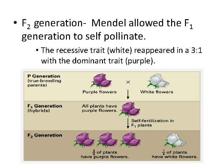 • F 2 generation- Mendel allowed the F 1 generation to self pollinate.