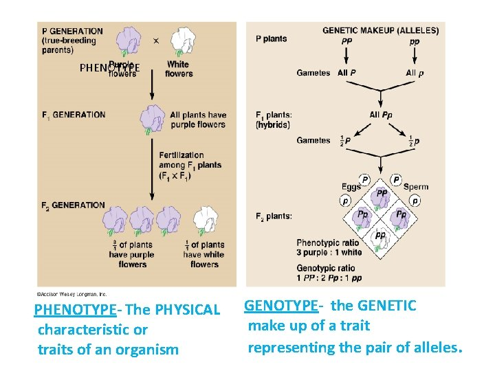 PHENOTYPE- The PHYSICAL characteristic or traits of an organism GENOTYPE- the GENETIC make up