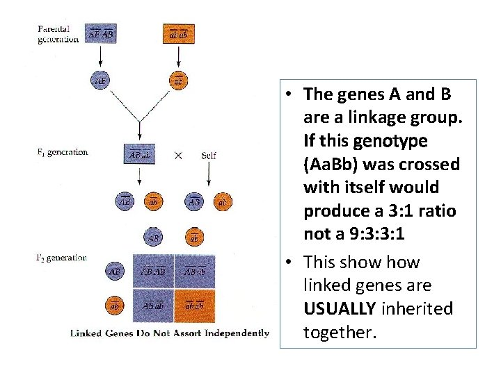 • The genes A and B are a linkage group. If this genotype