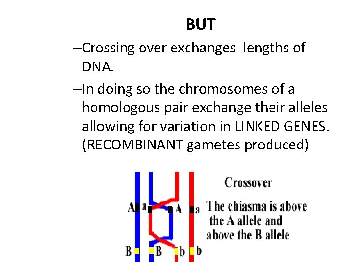 BUT –Crossing over exchanges lengths of DNA. –In doing so the chromosomes of a