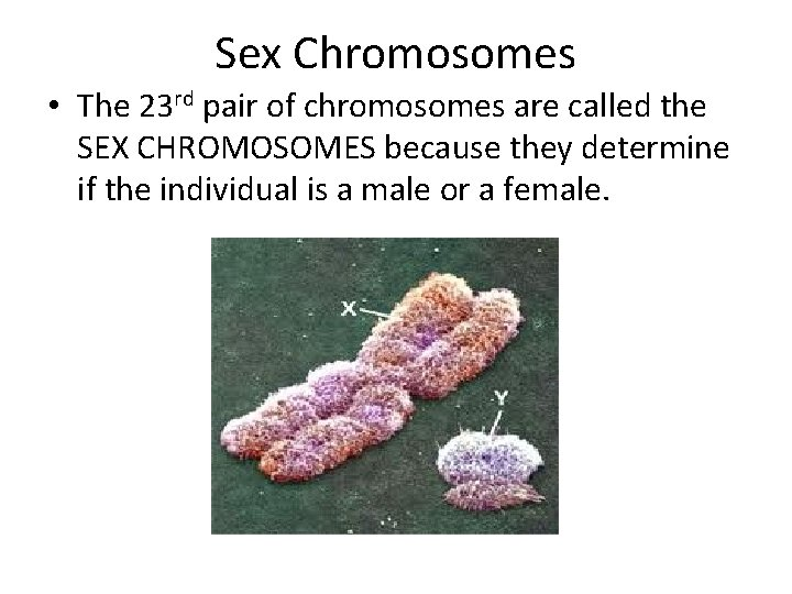 Sex Chromosomes • The 23 rd pair of chromosomes are called the SEX CHROMOSOMES