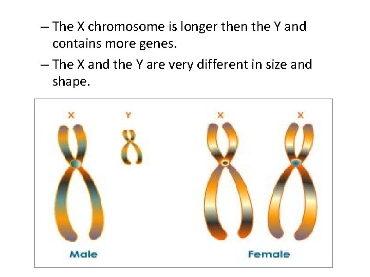 – The X chromosome is longer then the Y and contains more genes. –