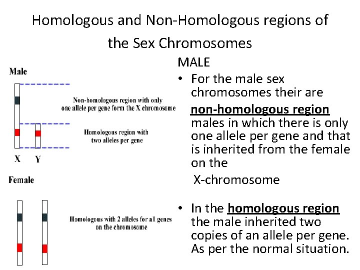 Homologous and Non-Homologous regions of the Sex Chromosomes MALE • For the male sex