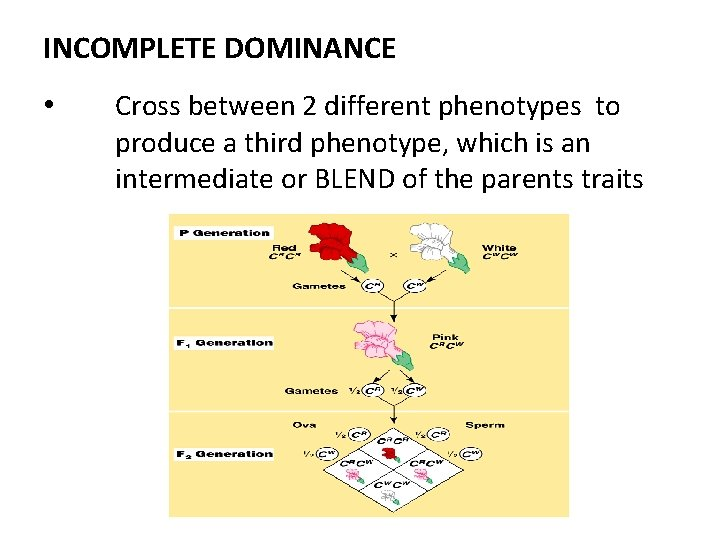 INCOMPLETE DOMINANCE • Cross between 2 different phenotypes to produce a third phenotype, which