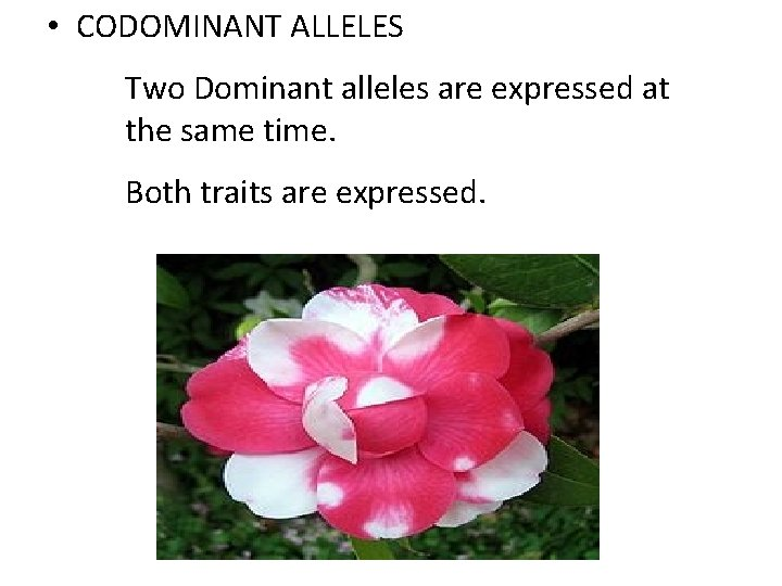 • CODOMINANT ALLELES Two Dominant alleles are expressed at the same time. Both