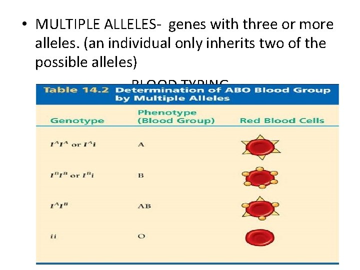 • MULTIPLE ALLELES- genes with three or more alleles. (an individual only inherits