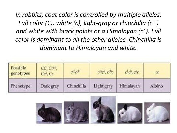 In rabbits, coat color is controlled by multiple alleles. Full color (C), white (c),