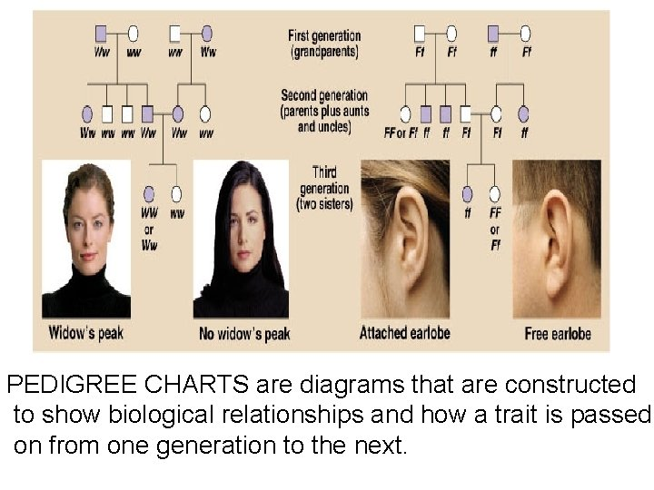 PEDIGREE CHARTS are diagrams that are constructed to show biological relationships and how a