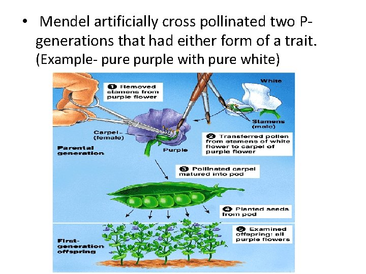 • Mendel artificially cross pollinated two Pgenerations that had either form of a