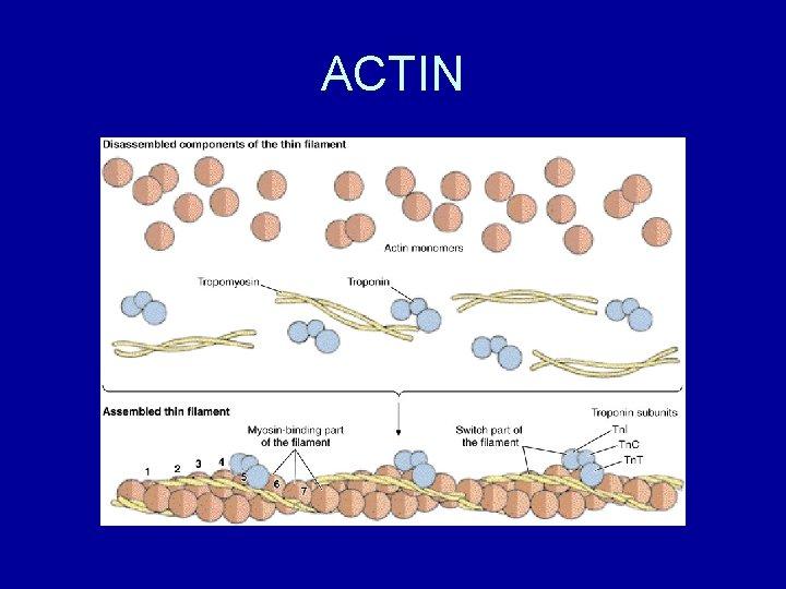 ACTIN