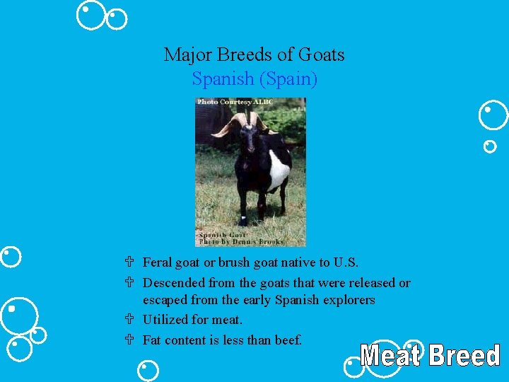 Major Breeds of Goats Spanish (Spain) U Feral goat or brush goat native to