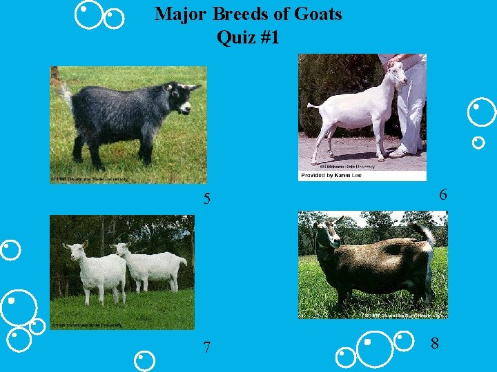 Major Breeds of Goats Quiz #1 6 5 7 8