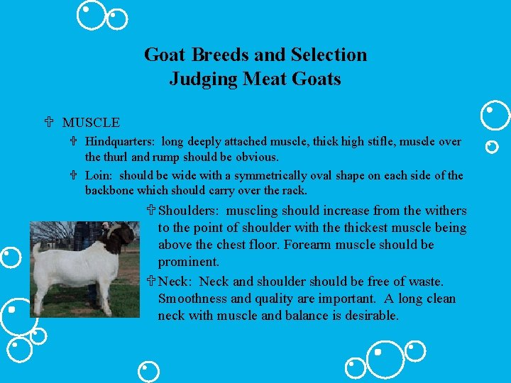 Goat Breeds and Selection Judging Meat Goats U MUSCLE U Hindquarters: long deeply attached