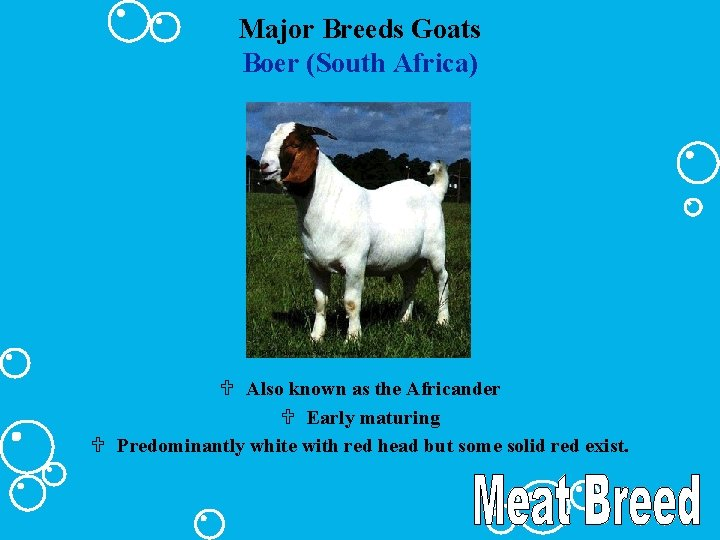 Major Breeds Goats Boer (South Africa) U Also known as the Africander U Early