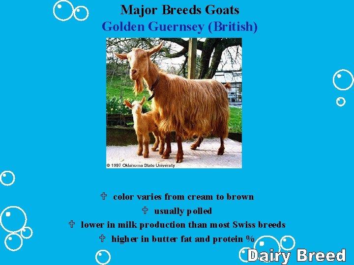 Major Breeds Goats Golden Guernsey (British) U color varies from cream to brown U