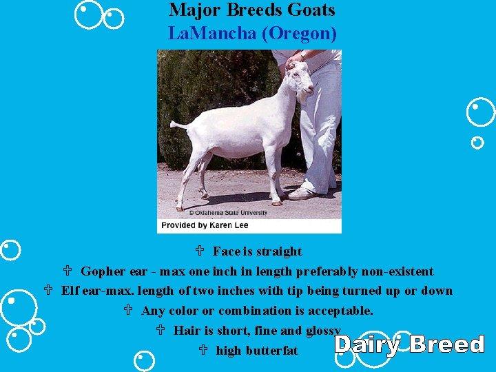 Major Breeds Goats La. Mancha (Oregon) U Face is straight U Gopher ear -