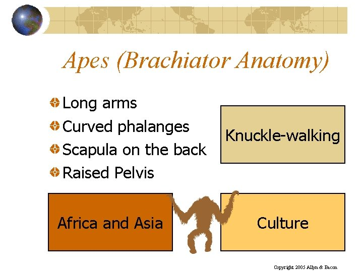 Apes (Brachiator Anatomy) Long arms Curved phalanges Scapula on the back Raised Pelvis Africa