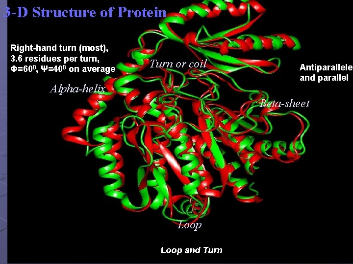 3 -D Structure of Protein Right-hand turn (most), 3. 6 residues per turn, Φ=600,