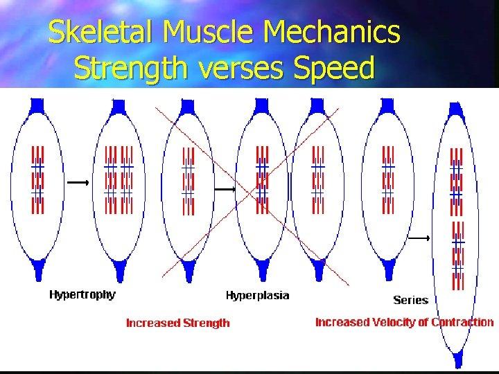 Skeletal Muscle Mechanics Strength verses Speed