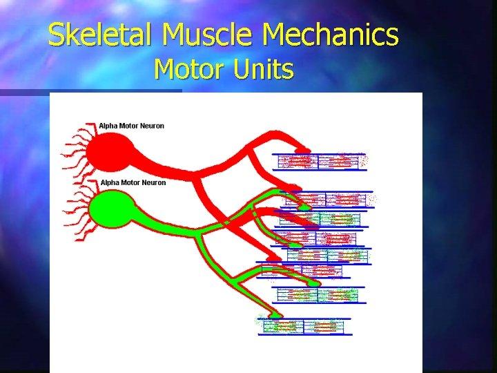 Skeletal Muscle Mechanics Motor Units