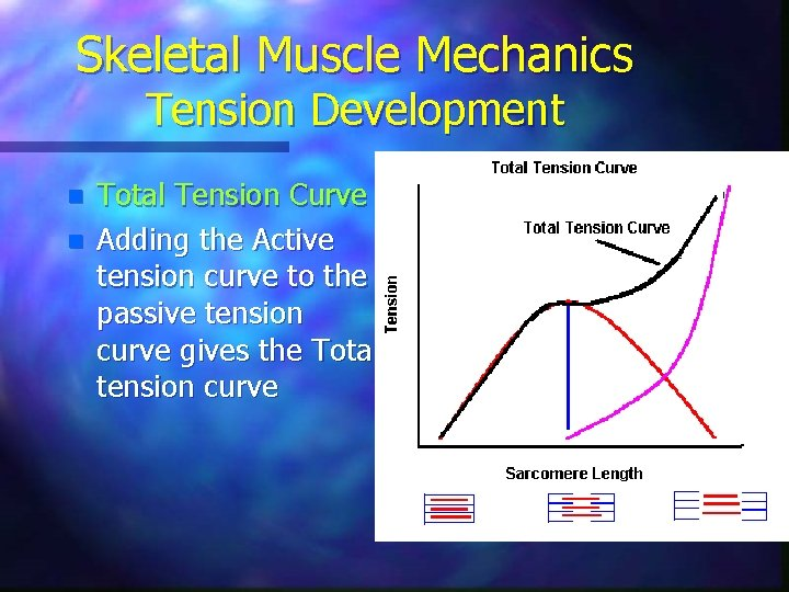 Skeletal Muscle Mechanics Tension Development n n Total Tension Curve Adding the Active tension