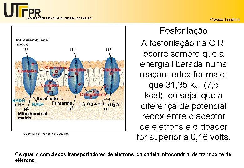 UNIVERSIDADE TECNOLÓGICA FEDERAL DO PARANÁ Campus Londrina Fosforilação A fosforilação na C. R. ocorre