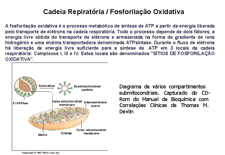 Cadeia Repiratória / Fosforilação Oxidativa A fosforilação oxidativa é o processo metabólico de síntese