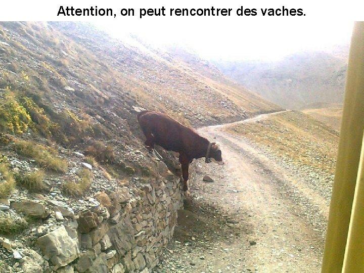 Attention, on peut rencontrer des vaches.