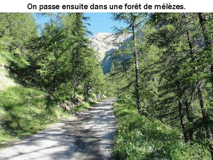 On passe ensuite dans une forêt de mélèzes.