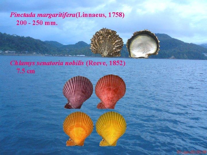 Pinctada margaritifera(Linnaeus, 1758) 200 - 250 mm. Chlamys senatoria nobilis (Reeve, 1852) 7. 5